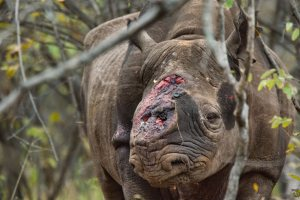 Hornless Black Rhino