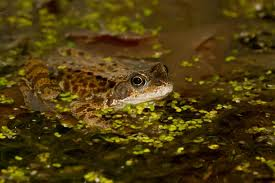frog in pond at night