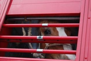 transport of live horses for slaughter